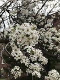 Birnen-Blüten Lizenzfreies Stockbild