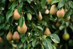 Birnen, die auf Birnen-Baum wachsen Stockfotos