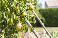 Birnen in einem Birnenbaum Stockfotografie