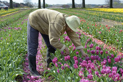 Birnen-Feld mit bunten Tulpen und Birnenpflücker Stockfotografie