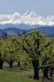 Birnen-Obstgarten und Mt-Haube Lizenzfreie Stockbilder