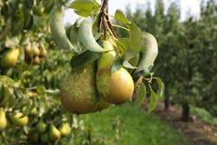 Birnenbäume beladen mit Frucht in einem Obstgarten Lizenzfreie Stockfotografie