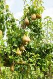 Birnenbäume beladen mit Frucht in einem Obstgarten Stockfotografie