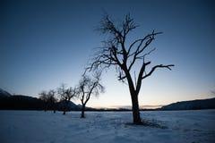 Birnenbäume am Wintermorgen Stockfoto