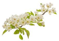 Birnenbaum-Blütenblume Lizenzfreies Stockbild