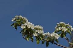 Birnenbaum-Blütenniederlassungen Lizenzfreies Stockfoto