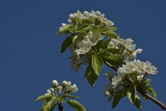Birnenbaum-Blütenniederlassungen Stockfotos