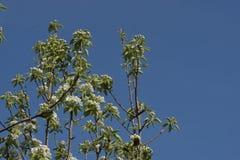 Birnenbaum-Blütenniederlassungen Stockfotografie