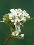 Birnenbaum in der Blüte Lizenzfreie Stockbilder
