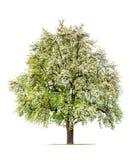 Birnenbaum in der Blüte Stockfotos