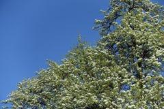 Birnenbaum in der Blüte gegen den Himmel Stockfoto