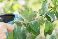 Birnenbaum, der gegen Plagen sprüht Stockbilder