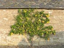 Birnenbaum gegen Wand Stockfoto