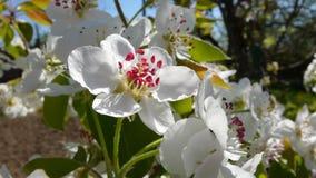 Birnenbaum im Frühjahr, weiße Blume - Nahaufnahme Stockfotografie