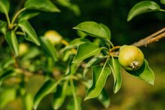 Birnenbaum im Garten Stockfotos