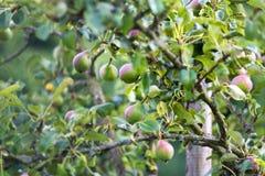 Birnenbaum im Garten Stockfotografie
