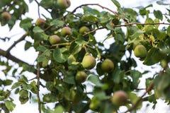 Birnenbaum im Garten Stockbilder