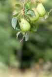 Birnenbaum mit Birnen Stockbild