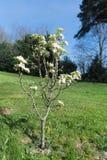 Birnenbaum mit Blüte Stockbilder