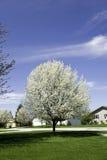 Birnenbaum mit Blüten Stockfotografie