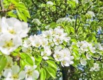 Birnenbaum mit Blumen Stockbilder