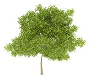 Birnenbaum mit den Birnen lokalisiert auf Weiß Lizenzfreies Stockbild