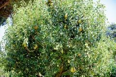 Birnenbaum mit vielen Früchten Lizenzfreies Stockfoto
