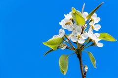 Birnenbaum ` s Blume Stockfotos