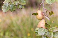 Birnenbaum voll von Birnen Lizenzfreies Stockbild