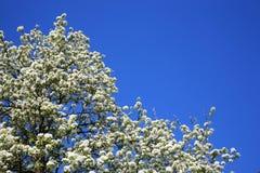 Birnenbaumblüte stockfoto