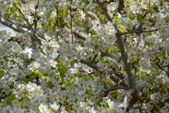 Birnenbaumblüte, voller Rahmen, Nahaufnahme lizenzfreie stockfotos