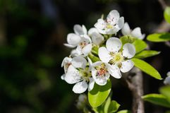 Birnenbaumblüten Stockfotografie