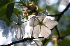 Birnenblüte lizenzfreie stockbilder