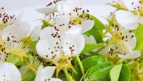 Birnenblüte dreht sich auf einen weißen Hintergrund, der mit Tautropfen umfasst wird Video 360 stock video footage