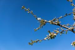 Birnenblüte, gegen einen blauen Himmel Stockfotos
