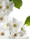 Birnenblüten getrennt auf Weiß Stockfotografie