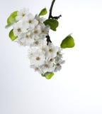 Birnenblüten getrennt auf Weiß Lizenzfreies Stockbild