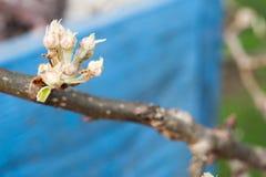 Birnenblütenknospen Lizenzfreies Stockbild
