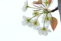 Birnenblume stockbild