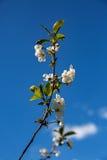 Birnenblume auf einer Niederlassung Stockfoto