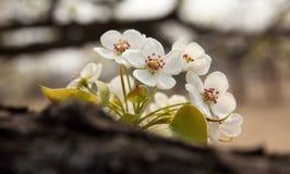 Birnenblume im April Stockbild
