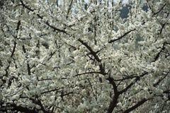 Birnenblume im Frühjahr Stockfotografie