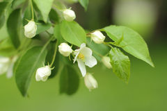 Birnenblumen   Lizenzfreie Stockbilder