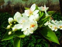 Birnenblumen, Blume Lizenzfreie Stockfotos