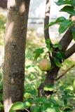 Birnenernte auf Baum mit Grün verlässt am sonnigen Tag Stockfotografie