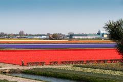 Birnenfelder beim Keukenhof, niederländischer allgemeiner Frühlings-Blumen-Garten stockfotografie