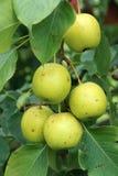 Birnenfrüchte stockfotos