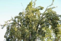 Birnenfrucht auf den Niederlassungen eines Baums Birnenbaum alt Lizenzfreies Stockbild