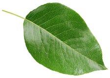Birnengrünblatt lokalisiert auf Weiß stockfoto