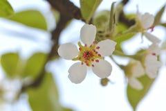 Birnenrosastempel und -staubgefässe der weißen Blume entspringen geblüht im Garten lizenzfreie stockfotos